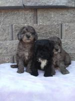 Goldendoodle Puppies for sale in Stitzer, WI 53825, USA. price: NA