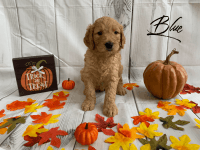 Goldendoodle Puppies for sale in Bradenton, FL, USA. price: NA