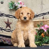 Goldendoodle Puppies for sale in Allentown, PA, USA. price: NA