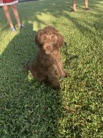 Goldendoodle Puppies for sale in Brea, CA, USA. price: NA