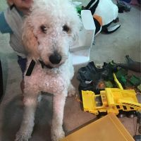 Goldendoodle Puppies for sale in Lake Oswego, OR, USA. price: NA