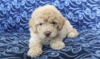 Goldendoodle Puppies for sale in NY State Thruway, New York, USA. price: NA