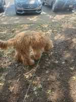 Goldendoodle Puppies for sale in Creve Coeur, MO, USA. price: NA