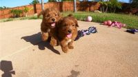 Goldendoodle Puppies for sale in Juneau, WI 53039, USA. price: NA