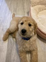 Goldendoodle Puppies for sale in Naples, FL, USA. price: NA