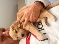 Goldendoodle Puppies for sale in Phoenix, AZ, USA. price: NA