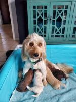 Goldendoodle Puppies for sale in New Port Richey, FL, USA. price: NA