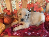 Goldendoodle Puppies for sale in Batesville, AR 72501, USA. price: NA