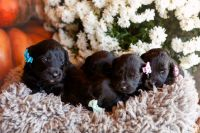 Goldendoodle Puppies for sale in White Mills, KY 42788, USA. price: NA