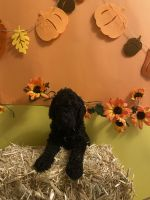 Goldendoodle Puppies for sale in Playa Del Rey, CA 90291, USA. price: NA