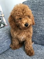Goldendoodle Puppies for sale in Kissimmee, FL, USA. price: NA