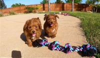 Goldendoodle Puppies for sale in San Francisco, CA, USA. price: NA