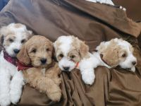 Goldendoodle Puppies for sale in Springville, UT, USA. price: NA