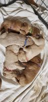 Goldendoodle Puppies for sale in Ocala, FL, USA. price: NA