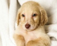 Goldendoodle Puppies for sale in Springfield, MO, USA. price: NA