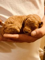 Goldendoodle Puppies for sale in Spokane, WA, USA. price: NA