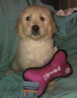 Goldendoodle Puppies for sale in Oviedo, FL, USA. price: NA