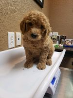 Goldendoodle Puppies for sale in Jacksboro, TN 37757, USA. price: NA