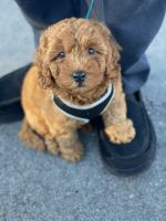 Goldendoodle Puppies for sale in Conway, SC, USA. price: NA