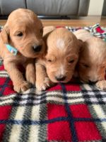 Goldendoodle Puppies for sale in Caldwell, ID, USA. price: NA