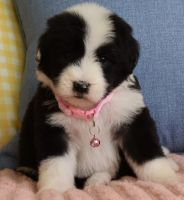 Goldendoodle Puppies for sale in Irvine, CA, USA. price: NA