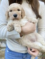 Goldendoodle Puppies for sale in Florence, SC, USA. price: NA
