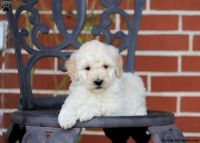 Goldendoodle Puppies for sale in San Jose, CA, USA. price: NA