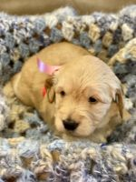 Goldendoodle Puppies for sale in Tarpon Springs, FL, USA. price: NA
