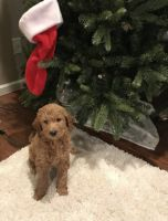 Goldendoodle Puppies for sale in Federal Way, WA, USA. price: NA