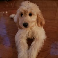 Goldendoodle Puppies for sale in Washington, DC, USA. price: NA