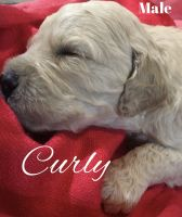 Goldendoodle Puppies for sale in Shelbyville, TN, USA. price: NA