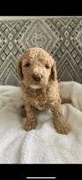 Goldendoodle Puppies for sale in Orlando, FL, USA. price: NA