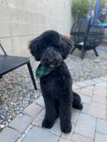 Goldendoodle Puppies for sale in Gilbert, AZ 85295, USA. price: NA