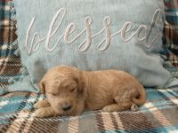 Goldendoodle Puppies for sale in Cuba, NY 14727, USA. price: NA