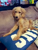 Goldendoodle Puppies for sale in Douglasville, GA, USA. price: NA