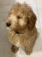 Goldendoodle Puppies for sale in Plymouth, MI 48170, USA. price: NA