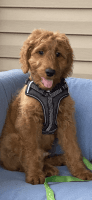 Goldendoodle Puppies for sale in Slidell, LA, USA. price: NA