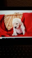 Goldendoodle Puppies for sale in New Bern, NC, USA. price: NA