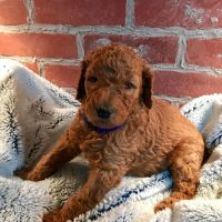 Goldendoodle Puppies for sale in Hawai Ave, Arizona 86409, USA. price: NA