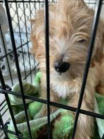 Goldendoodle Puppies for sale in Deer Park, NY, USA. price: NA