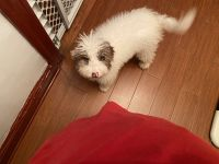 Goldendoodle Puppies for sale in Brooklyn, NY 11230, USA. price: NA