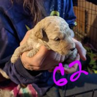Goldendoodle Puppies for sale in Louisville, KY, USA. price: NA