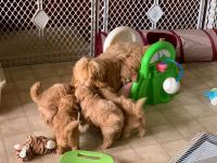 Goldendoodle Puppies for sale in Lafayette, LA, USA. price: NA