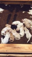 Goldendoodle Puppies for sale in San Antonio, TX, USA. price: NA