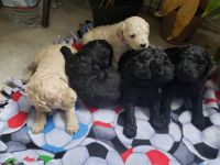 Goldendoodle Puppies for sale in Chula Vista, CA 91910, USA. price: NA