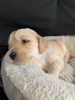 Goldendoodle Puppies for sale in Pensacola, FL, USA. price: NA