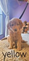 Goldendoodle Puppies for sale in Walkertown, NC, USA. price: NA