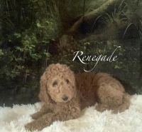 Goldendoodle Puppies for sale in 1001 Maplehurst Ave, Montpelier, OH 43543, USA. price: NA