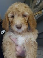 Goldendoodle Puppies for sale in Battle Creek, MI, USA. price: NA