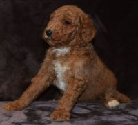 Goldendoodle Puppies for sale in Camden, NJ, USA. price: NA